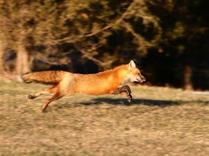 nice-red-running-fox